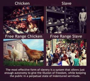 chicken free range chicken slave free range slave